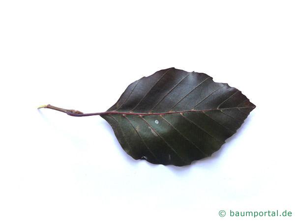 Blutbuche (Fagus sylvatica purpurea) Blattunterseite