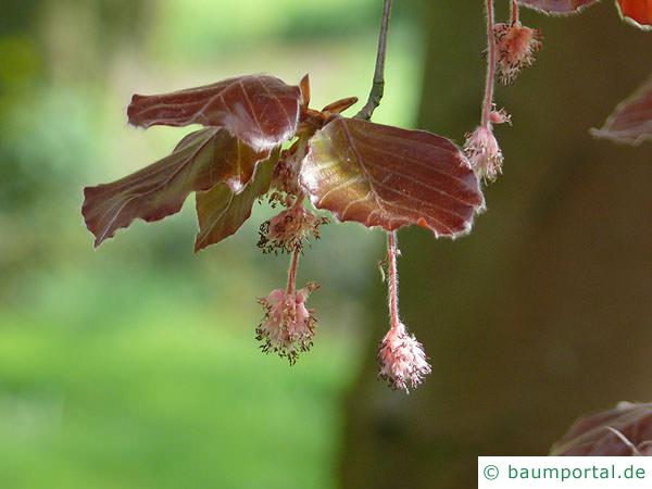 Blutbuche (Fagus sylvatica purpurea) Blüte