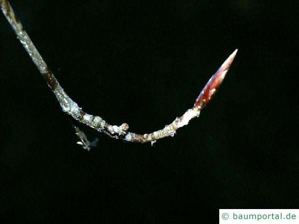 Blutbuche (Fagus sylvatica purpurea) Endknospe
