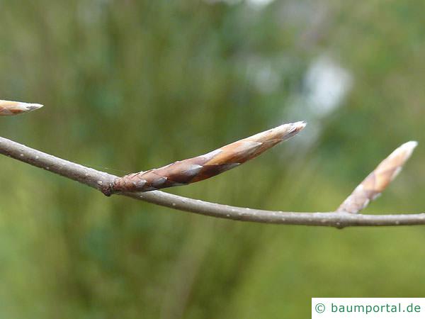 Blutbuche (Fagus sylvatica purpurea) Seitenknospe