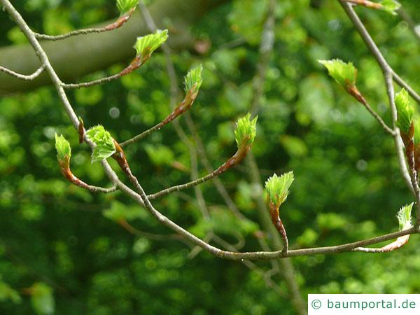 Buche (Fagus sylvatica) Austrieb