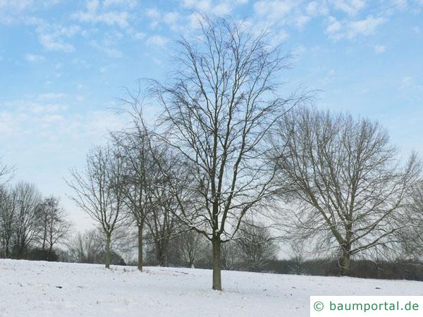 Buche (Fagus sylvatica) Baum im Winter