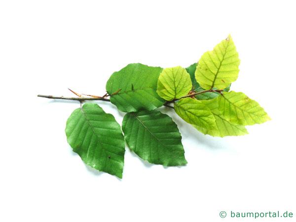 Buche (Fagus sylvatica) Blätter