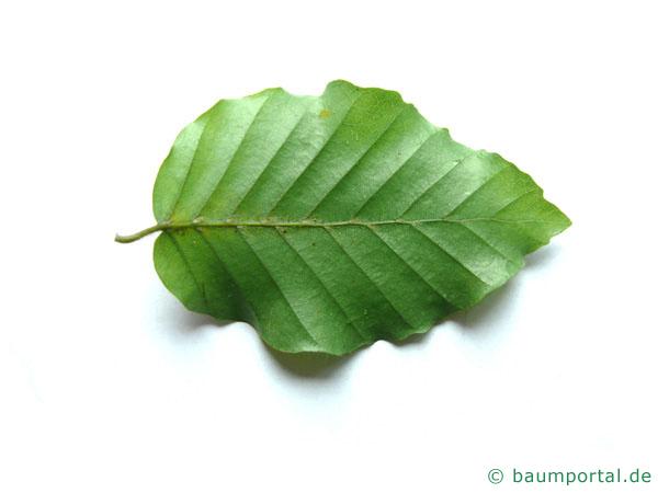 Buche (Fagus sylvatica) Blattrückseite