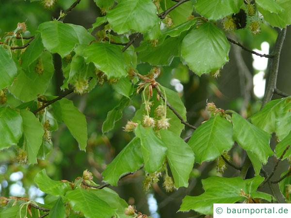 Buche (Fagus sylvatica) Blüten