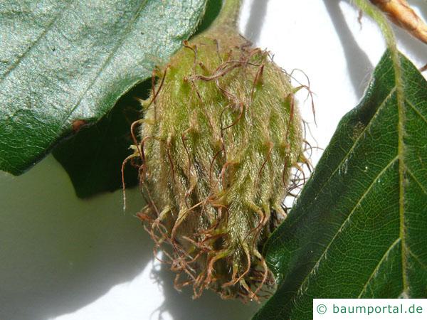 Buche (Fagus sylvatica) junge Frucht