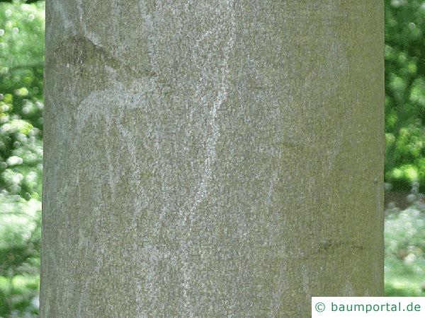 Buche (Fagus sylvatica) Stamm / Rinde / Borke