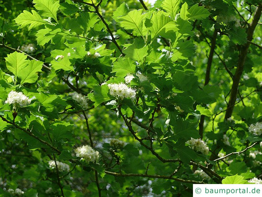 Crataegus maximowiczii Blüten