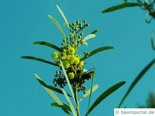Dietrich Akazie (Acacia dietrichiana) Blüten