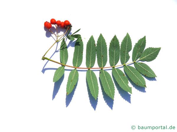 Vogelbeere (Sorbus aucuparia) Blattunterseite