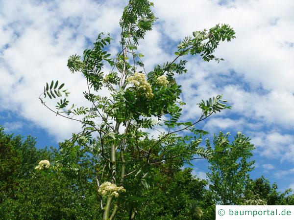 Vogelbeere (Sorbus aucuparia) Blüte