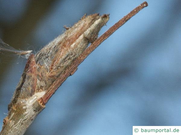 Vogelbeere (Sorbus aucuparia) Knospe