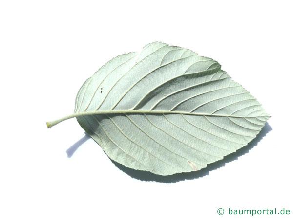 echte Mehlbeere (Sorbus aria) Blattunterseite