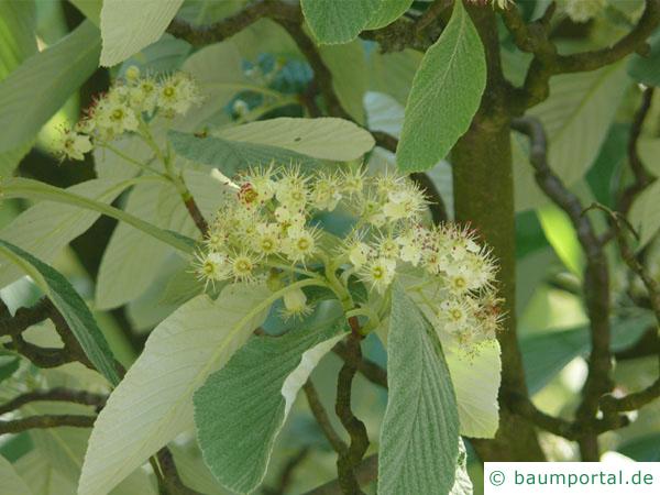 echte Mehlbeere (Sorbus aria) Blüte