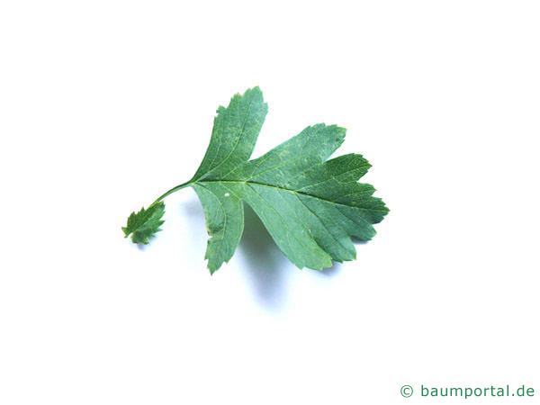 eingriffliger Weißdorn (Crataegus monogyna) Blatt