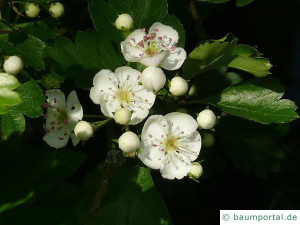 eingriffliger Weißdorn (Crataegus monogyna) Blüte
