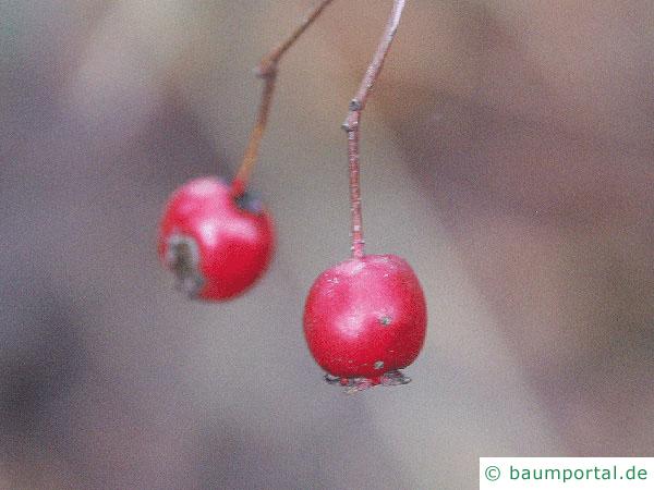 eingriffliger Weißdorn (Crataegus monogyna) Früchte