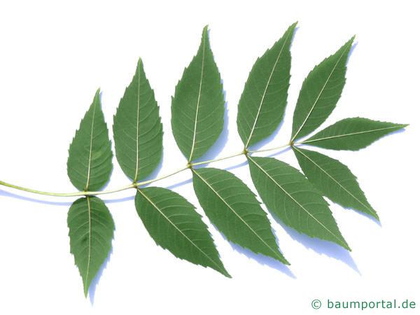 Esche (Fraxinus excelsior) Blattunterseite