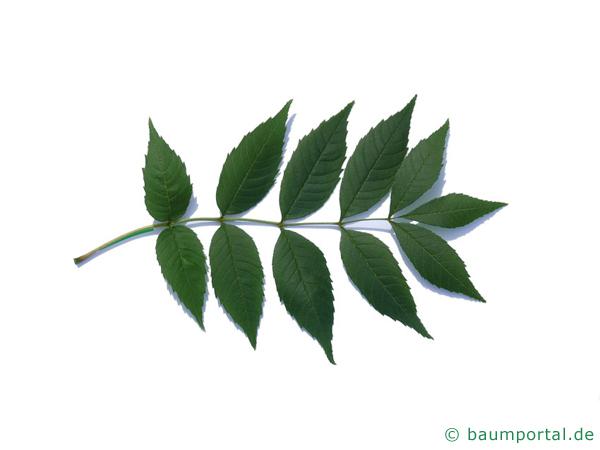 Esche (Fraxinus excelsior) Blatt