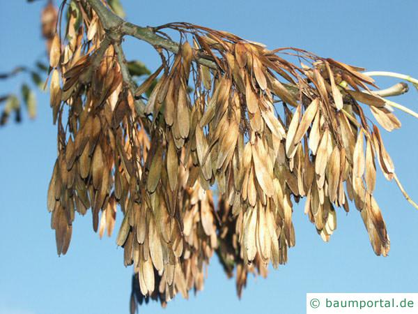 Esche (Fraxinus excelsior) Frucht Winter