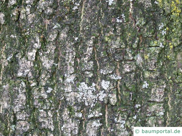 Esche (Fraxinus excelsior) Stamm