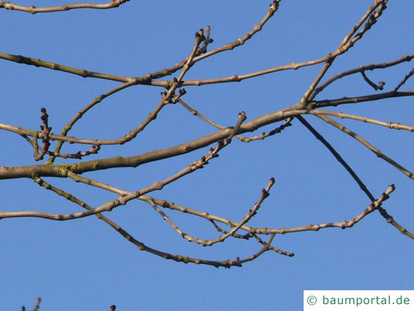 Esche (Fraxinus excelsior) Zweige