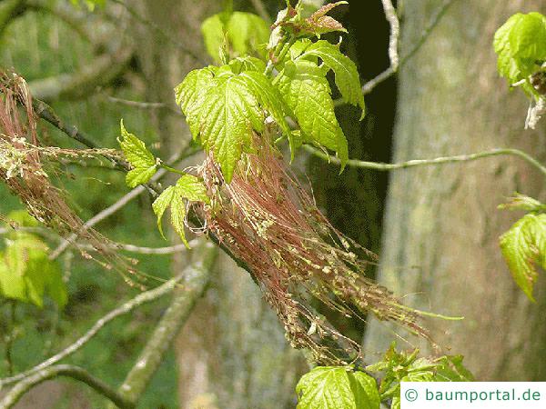 Eschen-Ahorn (Acer negundo) Blüte