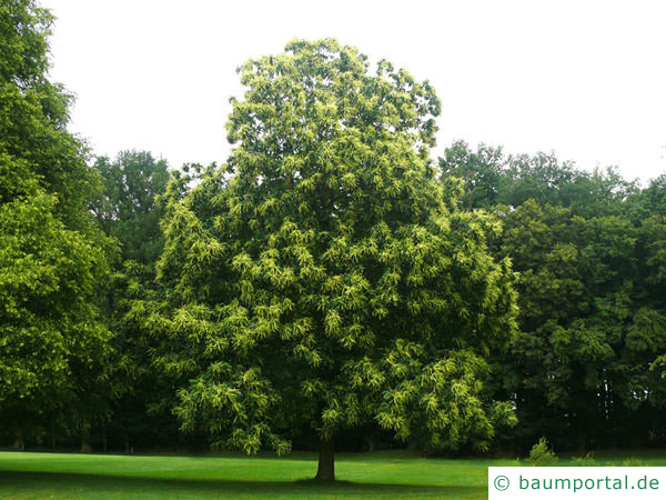 Esskastanie (Castanea sativa) Baum im Sommer