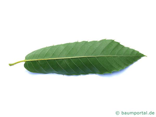 Esskastanie (Castanea sativa) Blattunterseite
