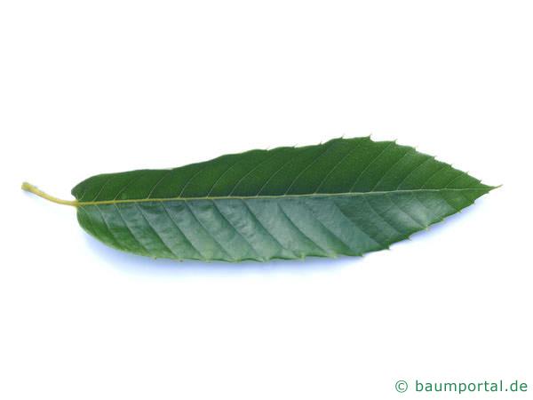 Esskastanie (Castanea sativa) Blatt