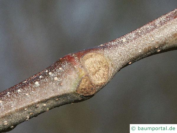 Esskastanie (Castanea sativa) Blattnarbe