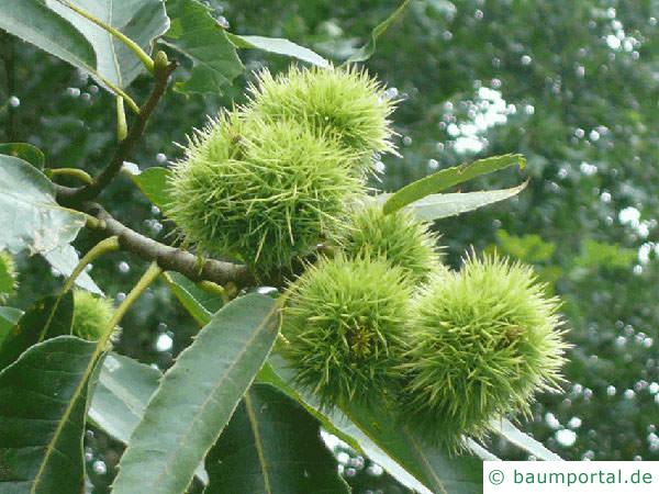 Esskastanie (Castanea sativa) Frucht und Laub
