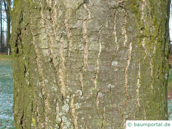 Esskastanie (Castanea sativa) Stamm / Rinde / Borke