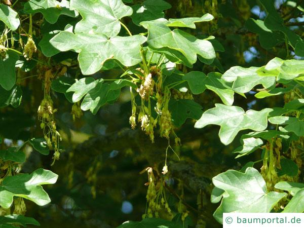 Feld-Ahorn (Acer campestre) Blüten