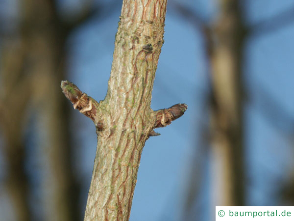 Feld-Ahorn (Acer campestre) Seitenknospen