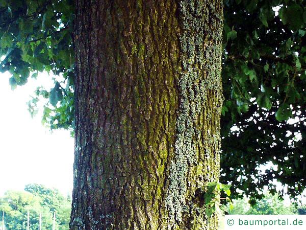 Feld-Ahorn (Acer campestre) Stamm