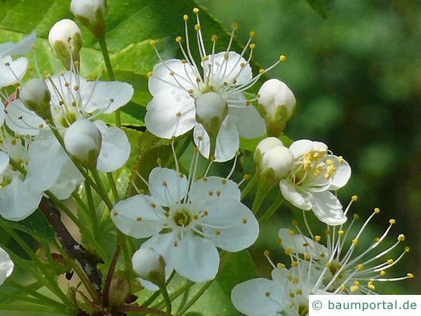 Feuer-Kirsche (Prunus pensylvanica) Blüte