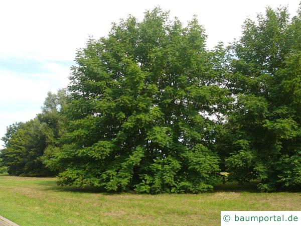Flügelnuss (Pterocarya fraxinifolia) Baum