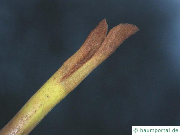Flügelnuss (Pterocarya fraxinifolia) Endknospe