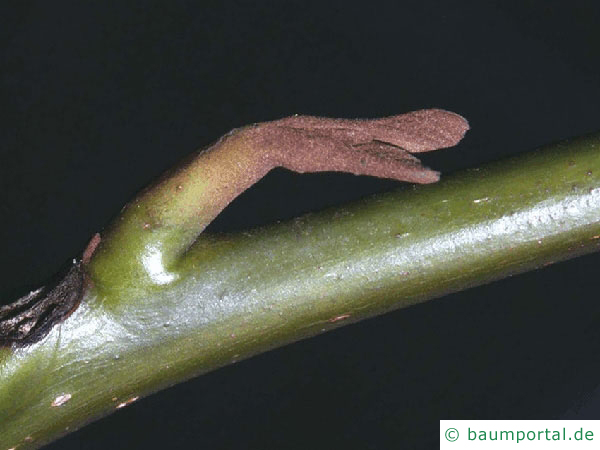 Flügelnuss (Pterocarya fraxinifolia) Seitenknospe