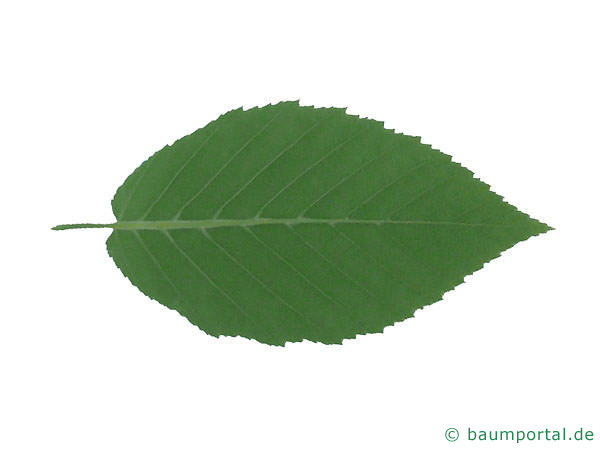 Gelb-Birke (Betula alleghaniensis) Blattrückseite