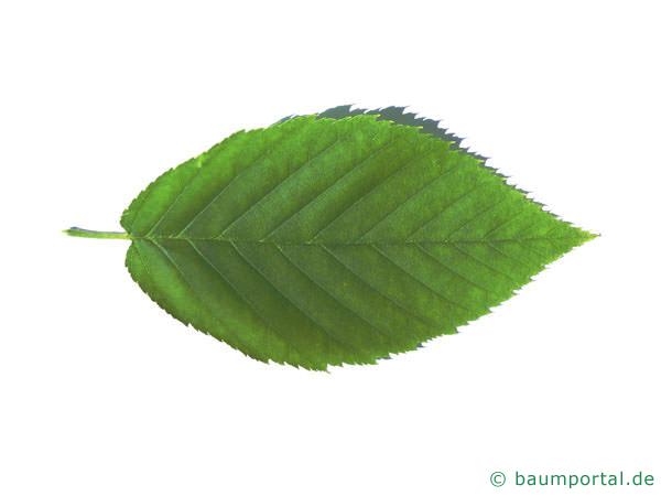 Gelb-Birke (Betula alleghaniensis) Blatt