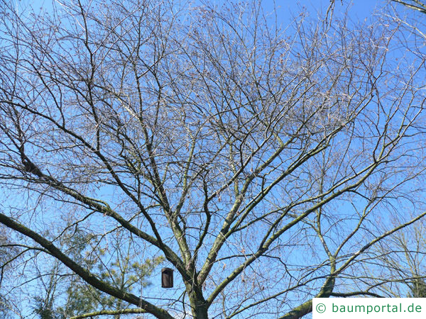 Gelb-Birke (Betula alleghaniensis) Baumkrone im Winter