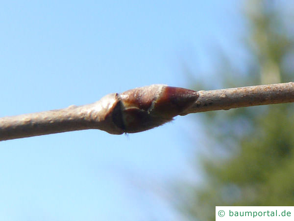 Gelb-Birke (Betula alleghaniensis) Seitenknospen