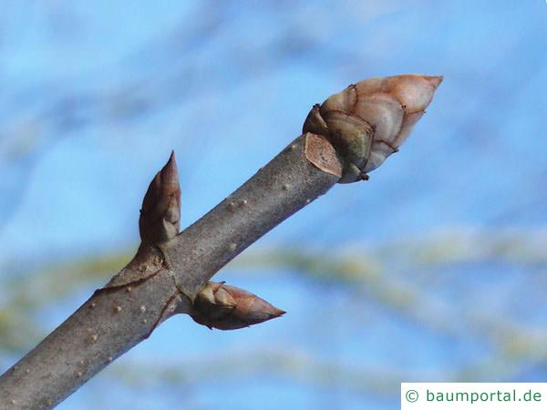 gelbe Kastanie (Aesculus flava) Endknospe
