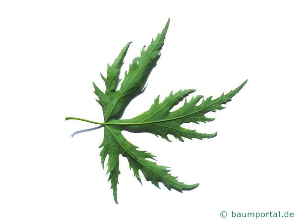 geschlitzter Spitz-Ahorn (Acer saccharinum 'Wieri') Blattunterseite