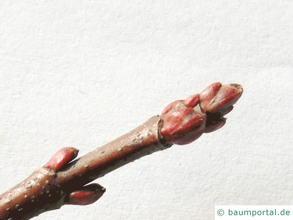 geschlitzter Spitz-Ahorn (Acer saccharinum 'Wieri') Knospen