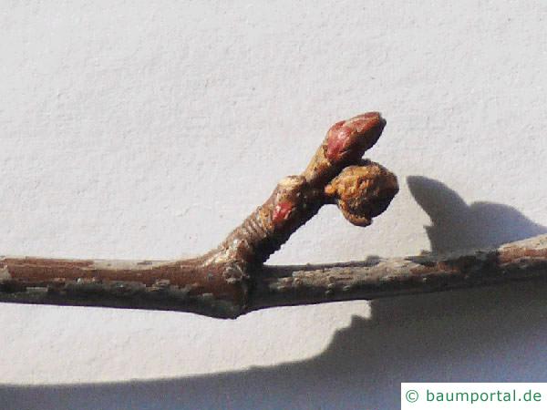 geschlitzter Spitz-Ahorn (Acer saccharinum 'Wieri') Seitenknospen