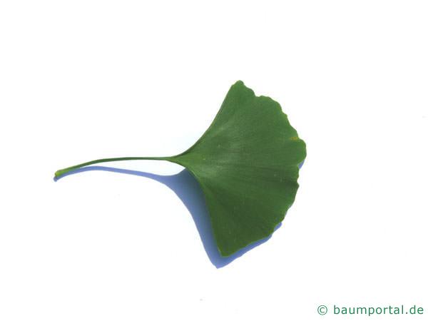 Ginkgo (Ginkgo biloba) Blatt