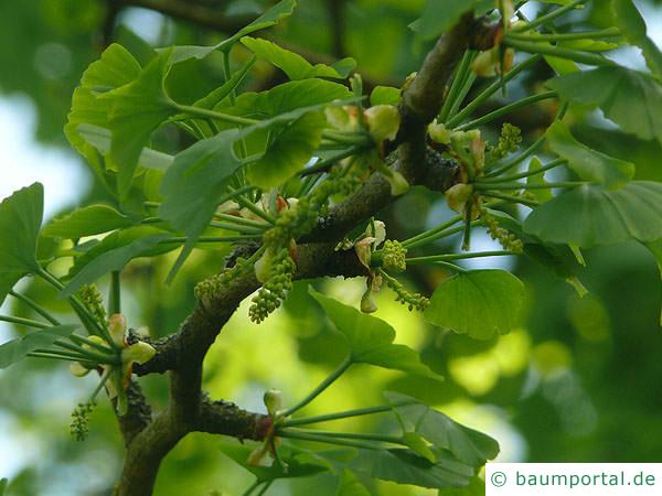 Ginkgo (Ginkgo biloba) Blüte